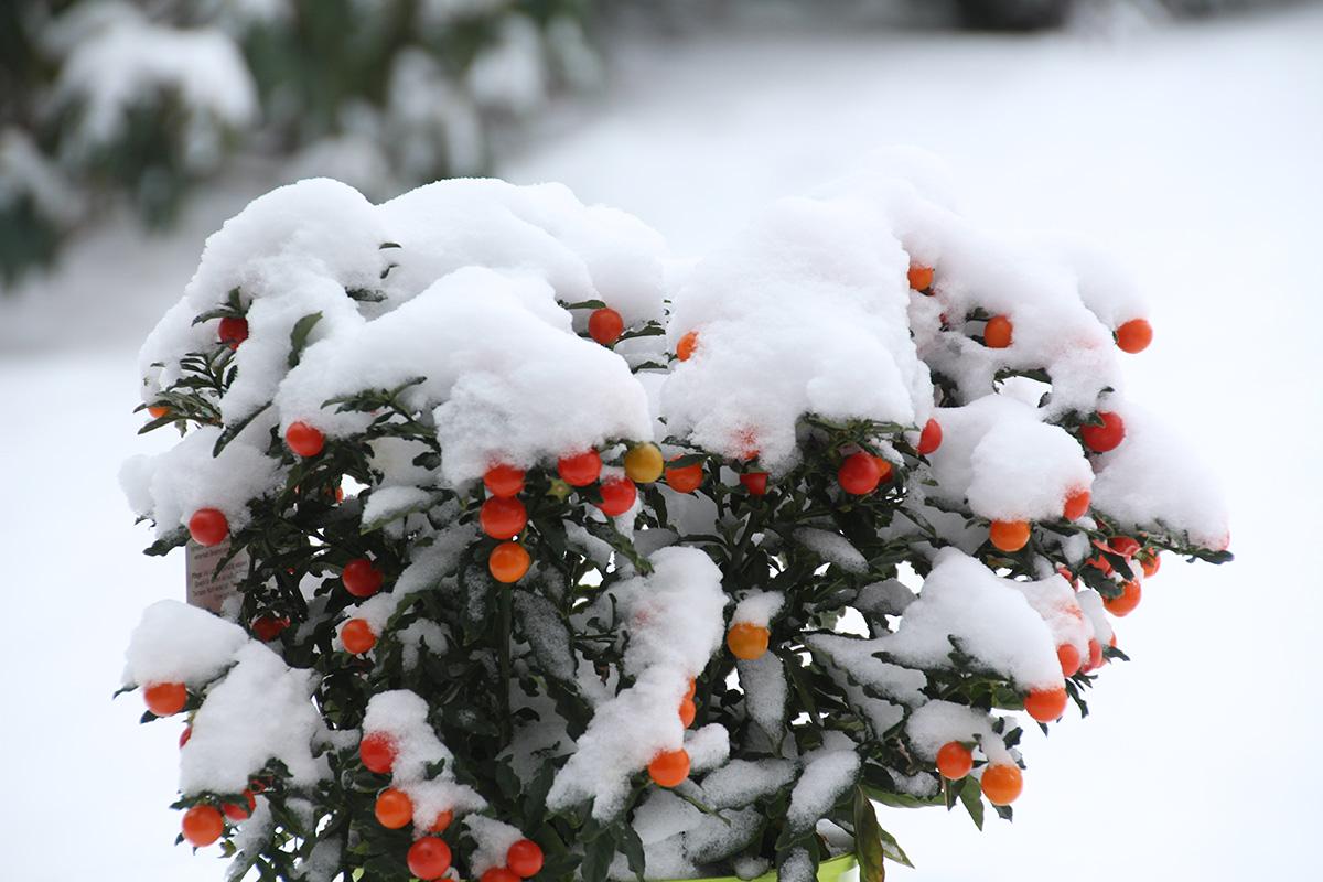 Winter-Theetuin-Kamperfoelie